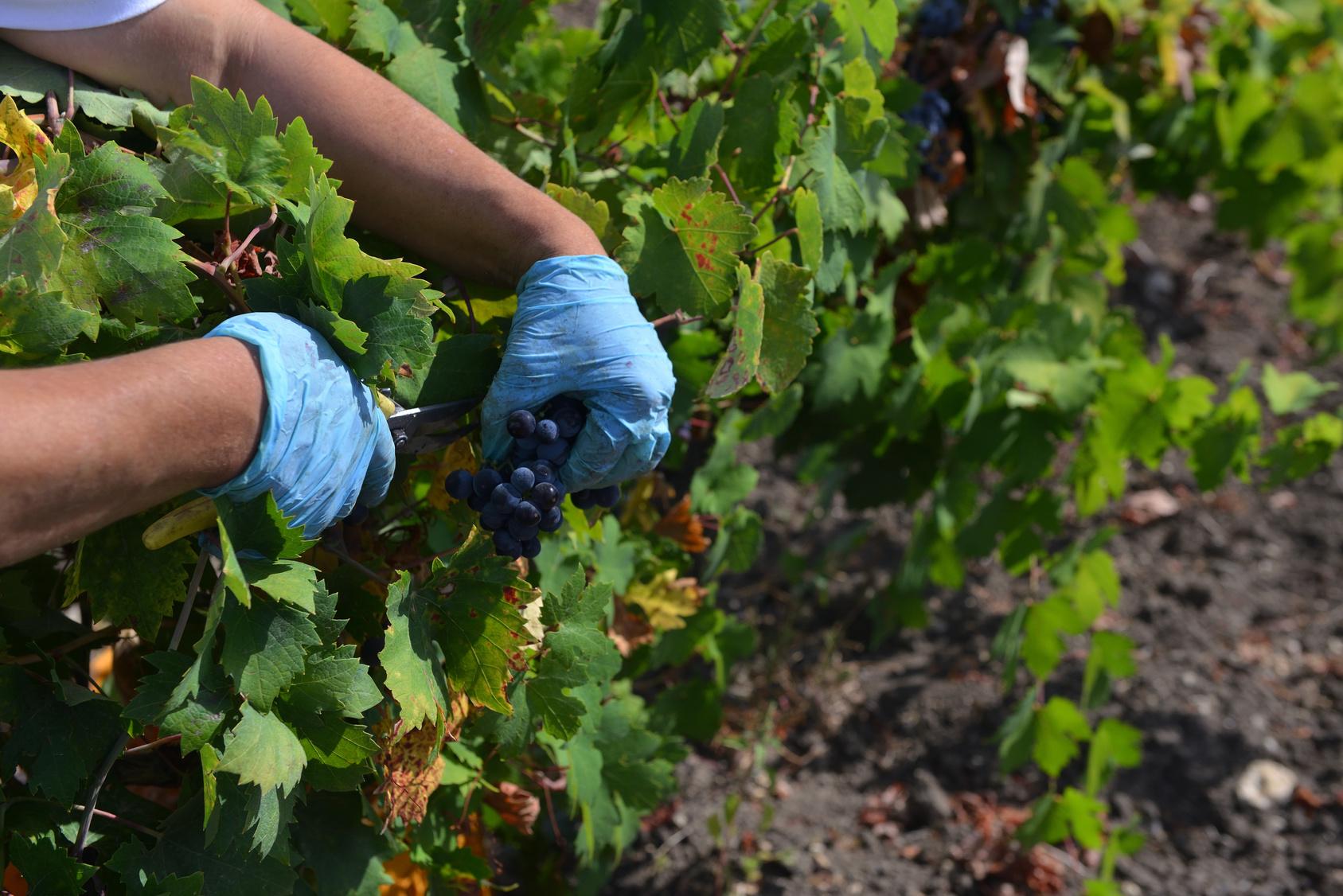 Bei der Traubenernte in Süditalien
