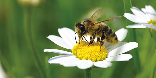 ALDI SÜD fördert den Lebensraum und das Nahrungsangebot von Bienen.