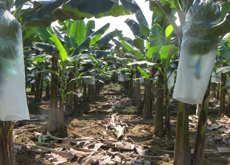 Geliebte Wo unsere Bananen, Mangos und Ananas ihren Ursprung haben - ALDI @KC_14