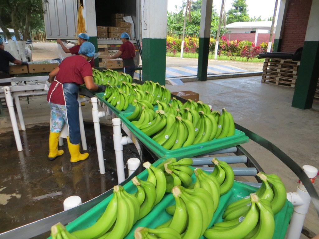 Die Bananen werden in Kisten gepackt und für den Abtransport bereit gemacht.