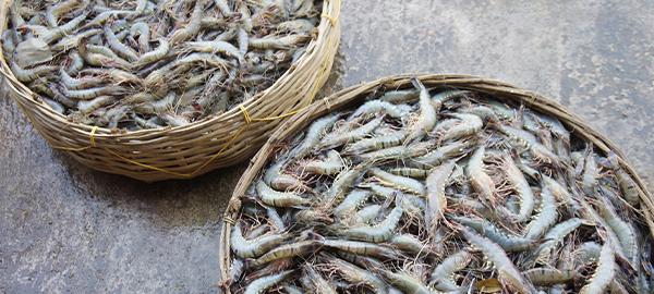 Die Garnelenzucht verursacht Umweltprobleme.