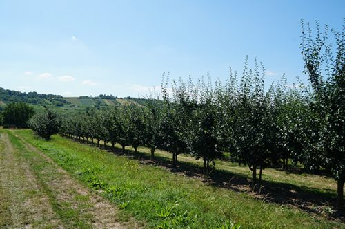 Auf den Feldern von Bauer Gaul stehen 1000 Zwetschgen-Bäume