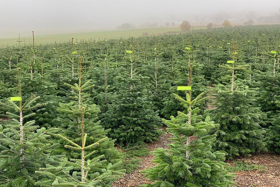 Markierung der Weihnachtsbäume