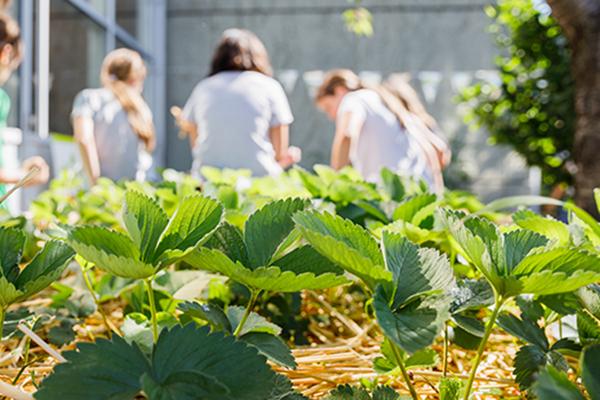 Kinder ernten Gemüse